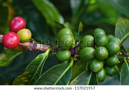 Coffee berries or cherries on branch of a coffee plant. Location: a coffee plantation in Boquete, Chiriqui, Panama (Central America).