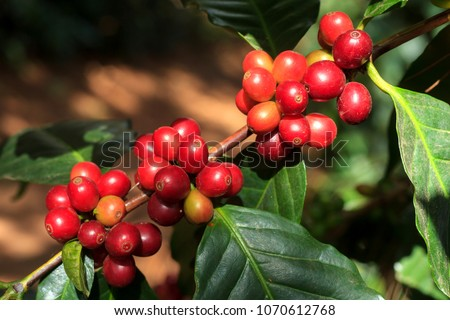 Coffee cherries on tree