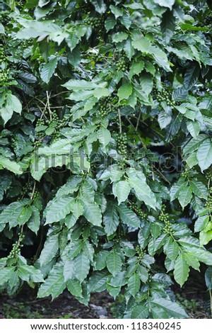 Coffee - Coffee trees - Coffee plant - Coffee bean on tree - Coffee tree with ripe