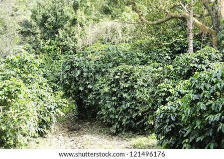 Coffee - Coffee trees - Coffee plant - Coffee bean on tree - Coffee tree with ripe -Coffee at  Doi Chang - Chiang Rai - Thailand