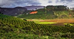 Coffee cup. Coffee Plantation. Coffee beans background. Coffee area landscape. Dalat, Vietnam.