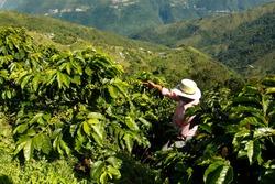 Coffee farmer in the fields of Colombia