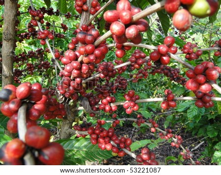 Coffee - fruits