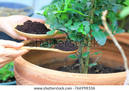 Coffee ground, Coffee residue is applied to the tree and is a natural fertilizer, Gardening hobby