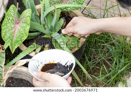 Coffee grounds being added to alovera plant as natural organic fertilizer rich in nitrogen for growth Photo stock ©