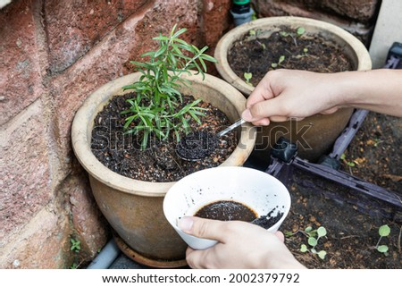 Coffee grounds being added to rosemary plant as natural organic fertilizer rich in nitrogen for growth Photo stock ©