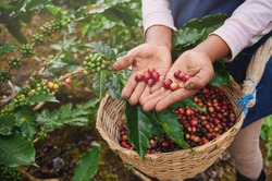 Coffee picker show red cherries on basket background