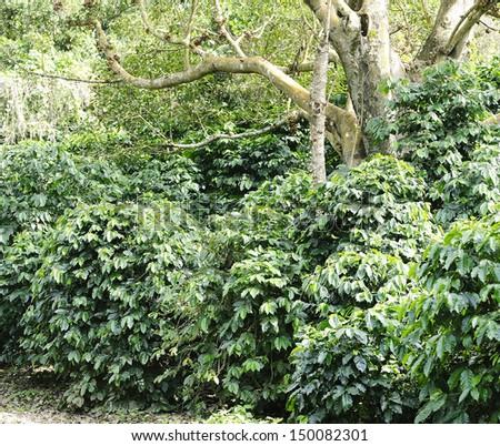 coffee plant - coffee trees