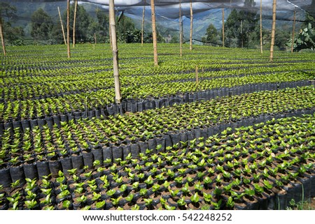 coffee plant nursery in Colombia