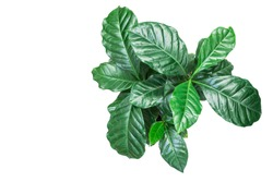 Coffee plant on white background