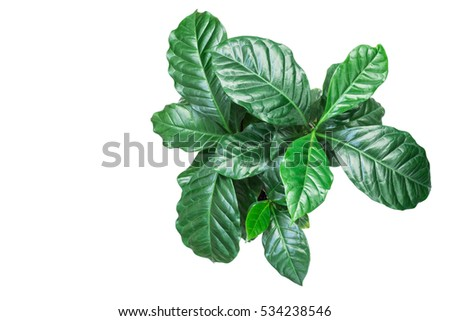 Coffee plant on white background #534238546