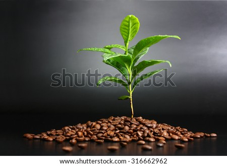 Coffee plant planted in coffee beans