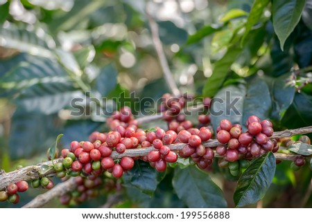 Coffee Plant. Red coffee beans on a branch of coffee tree. Branch of a coffee tree with ripe fruits ,fresh coffee Cherry name ,green leaves have bokeh background
