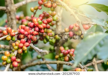 Coffee Plant. Red coffee beans on a branch of coffee tree Branch of a coffee tree with ripe fruits ,fresh coffee Cherry name ,green leaves have bokeh background