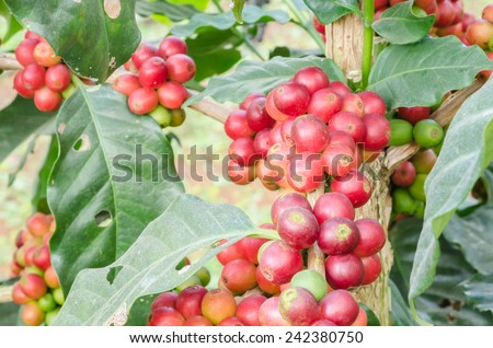 Coffee Plant. Red coffee beans on a branch of coffee tree. Branch of a coffee tree with ripe fruits