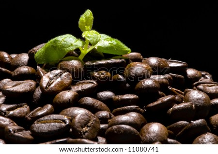 Coffee plant rising over coffee beans field