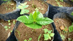 coffee plant seeds in the plastic bags. perfect and fit for coffee gardeners.