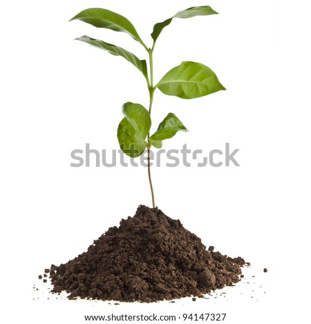 coffee plant tree growing seedling in soil isolated on white background