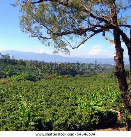 Coffee plantation in Costa Rica with a skyline with mountains in the background, tree in foreground.