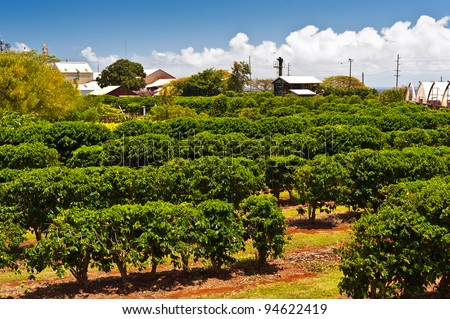 Coffee plantation in Maui, Hawaii