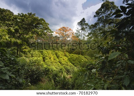 Coffee plantation in Naranjo region, Costa Rica