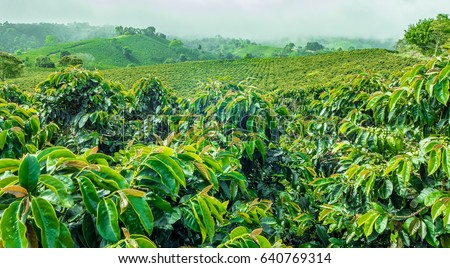 Coffee Plantation Jerico / Colombia