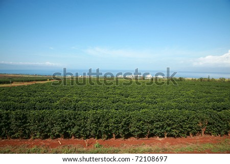 coffee plantation on Maui Hawaii