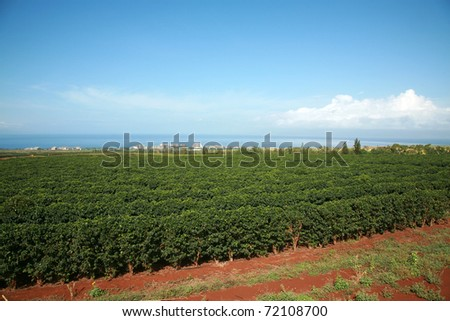 coffee plantation on Maui Hawaii