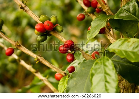 Coffee plants to mature. Colombia. Montenegro, which is nestled between mountains of the Cordillera Central, in Colombia. Zone of high quality coffee,