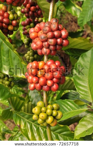 Coffee plants to mature, Java, Indonesia