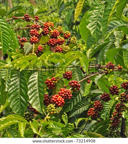 Coffee plants to mature Java Indonesia