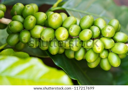 Coffee tree with green raw berries on the branch