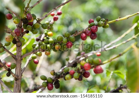 Coffee tree with ripe berries on organic farm. Food and drink coffee background.