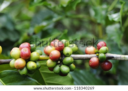 Coffee tree with ripe - Coffee beans on trees