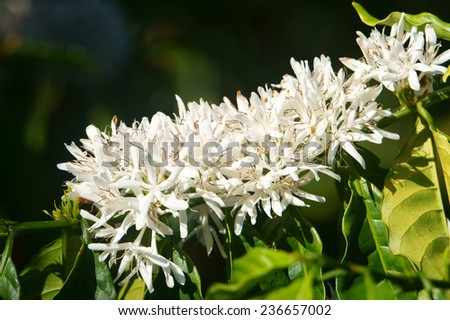 Coffee tree with white coffee flower on cafe plantation, cafe is main plant at basalt soil like Bao Loc, Lam Dong, Viet Nam, and coffee is Vietnam agriculture product to export