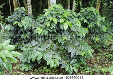 Coffee trees - Coffee plant