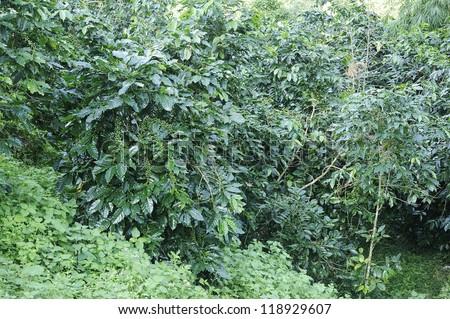 Coffee trees - Coffee plant - Coffee bean on tree - Coffee tree with ripe