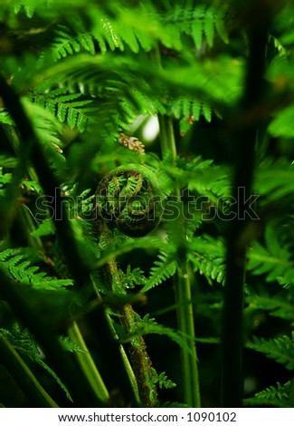 coiled new leaf of a tree fern unfolding