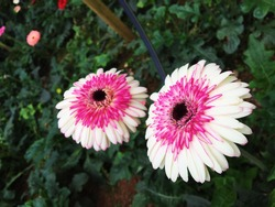 Colaboration pink and white flower