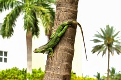 Cold blooded green iguana clings to a palm tree as he warms himself in the sunshine.  Green iguanas (Iguana iguana) are an invasive species in Florida.