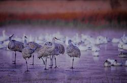 Cold sandhill cranes stand on ice ponds in Bosque del Apache