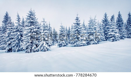 Cold winter morning in mountain foresty with snow covered fir trees. Splendid outdoor scene, Happy New Year celebration concept. Artistic style post processed photo.