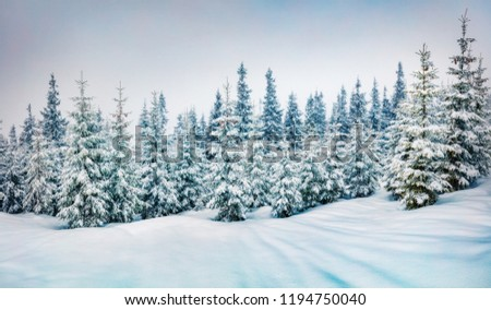 Cold winter morning in mountain foresty with snow covered fir trees. Splendid outdoor scene of Carpathian mountains. Beauty of nature concept background.