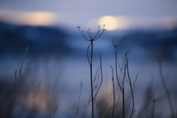 Cold winter twilight at Trondheim fjord with plant silhuette closeup