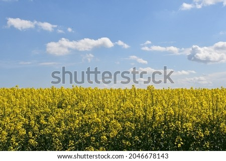 Cole seed field in bloom, yellow crops against blue sky   Photo stock ©