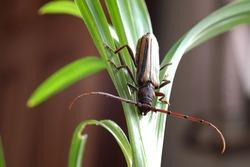 Coleoptera-Cerambycidae On the green leaf
