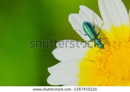 Coleoptera Green Beetle. Jewel.