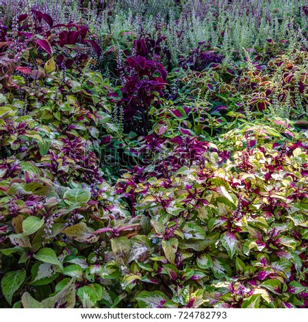Coleus colorful leaves, autumn background #724782793