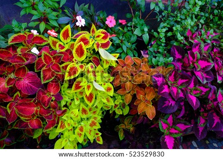 Coleus. different varieties. Home plant