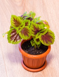 Coleus in a pot. Red and green leaves of the coleus plant, Plectranthus scutellarioides Painted nettle Flower. Beautiful flower Coleus with leaves of green, pink, purple colours.